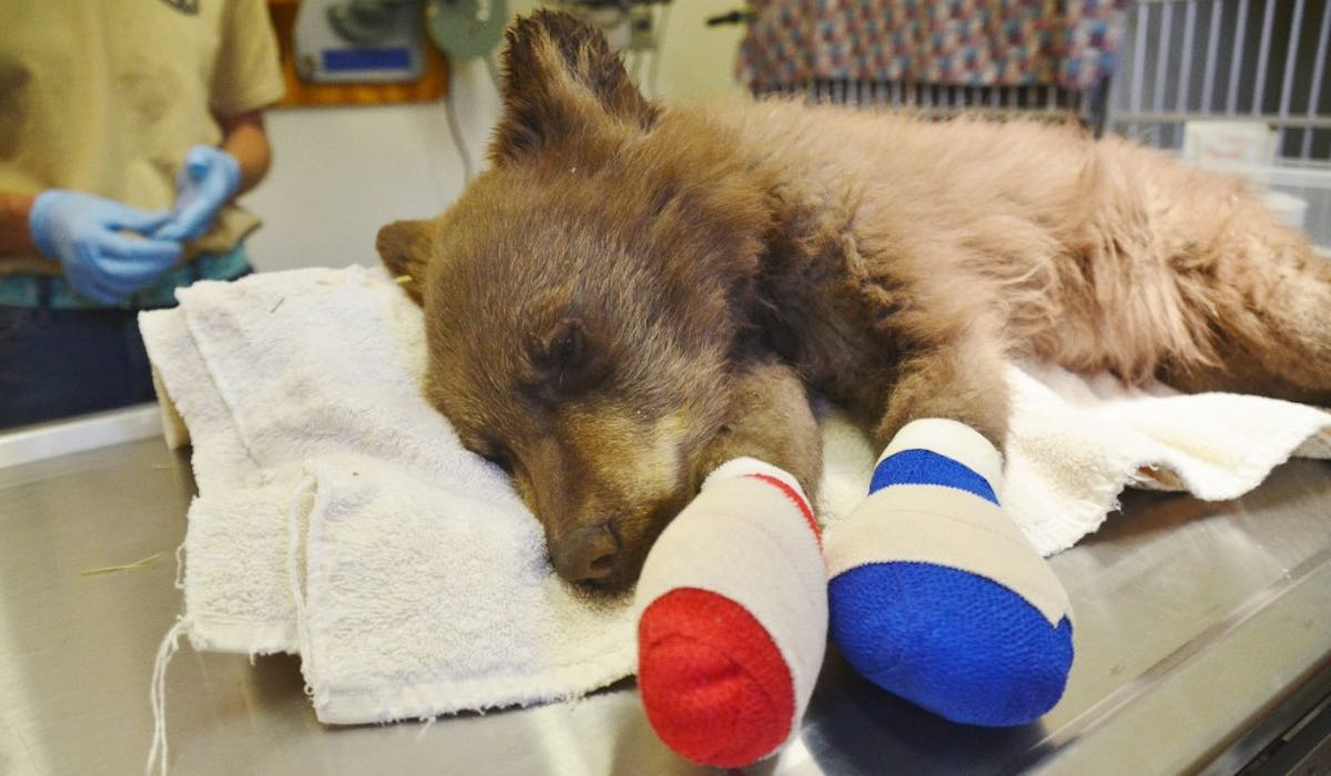 Orphaned bear cub with burnt paws rescued from colorado for Colorado fish and wildlife