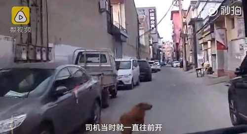 Golden Retriever Leads Ambulance Through a Maze of Alleyways to Save His Owner
