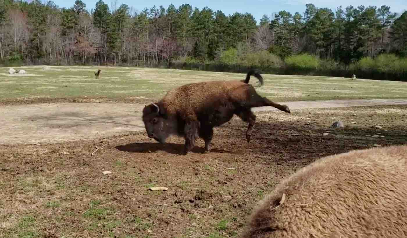 Watch 800-Pound Bison Perform Adorable 'Happy Dance' in Celebration of the First Day of Spring