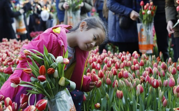 100,000 Free Tulips Are Yours for the Picking on Saturday