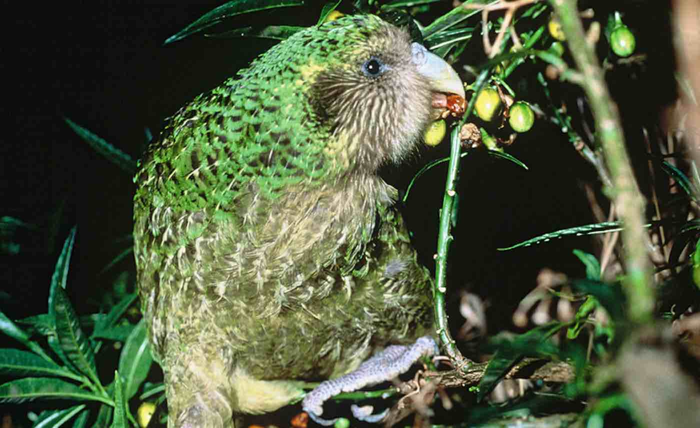 With Only 147 of World's Fattest Parrots Left, This Year's