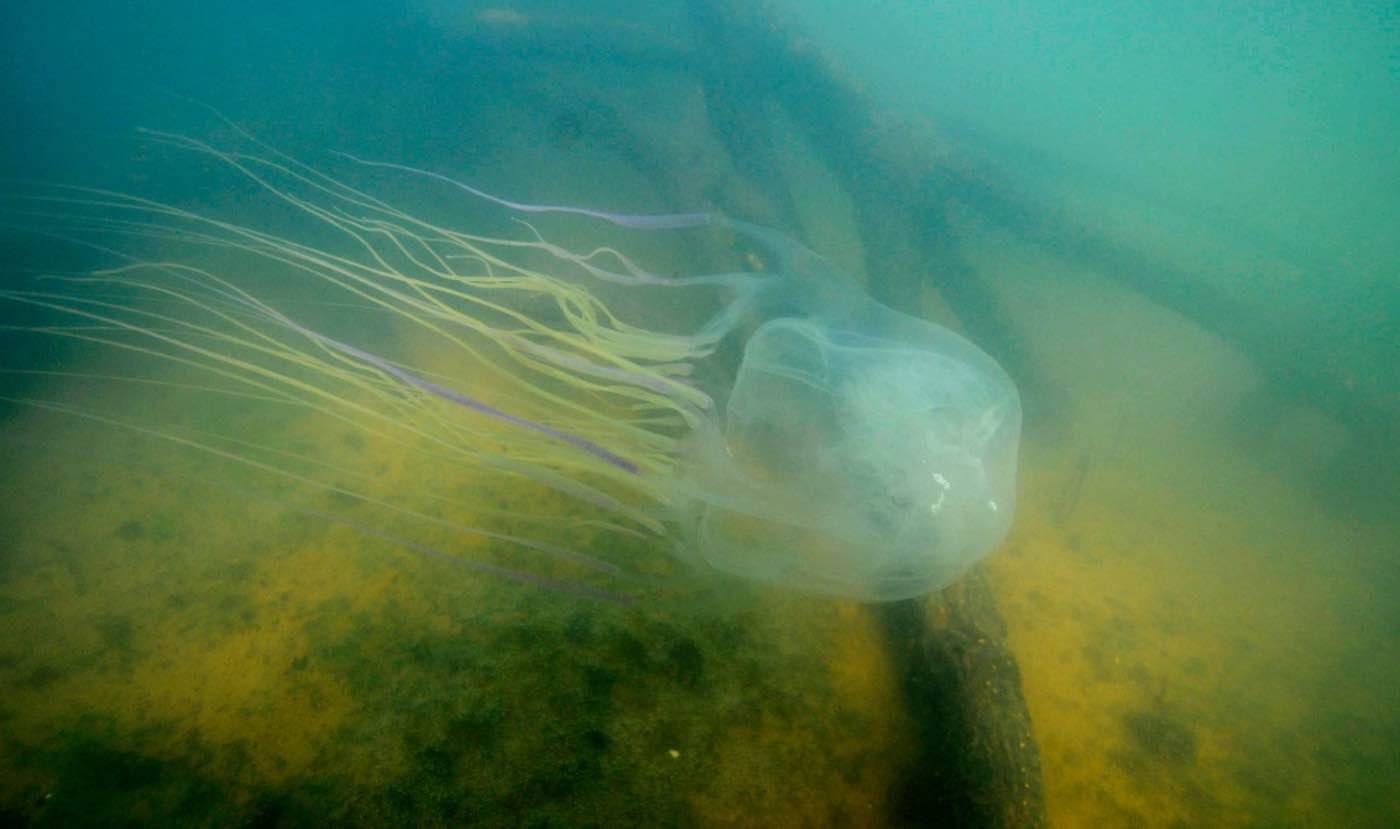 Researchers discover an antidote to deadly Australian box jellyfish sting