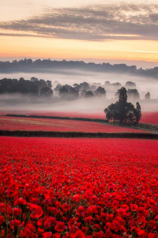 Check Out These Breathtaking Photos Of Poppy Field S First