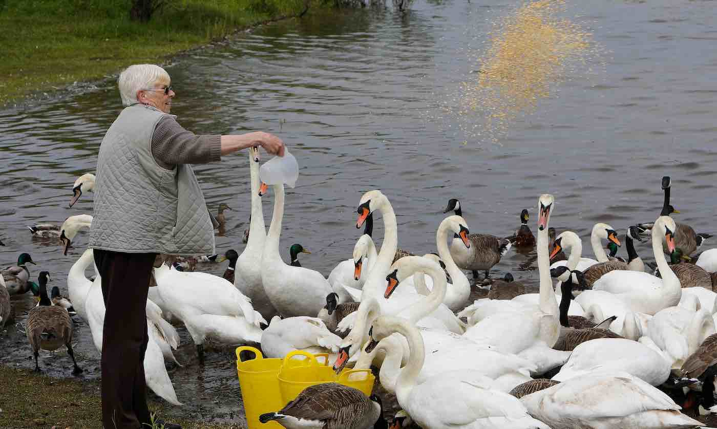 grandma-Irene-Hodges-feeding-swans-in-UK