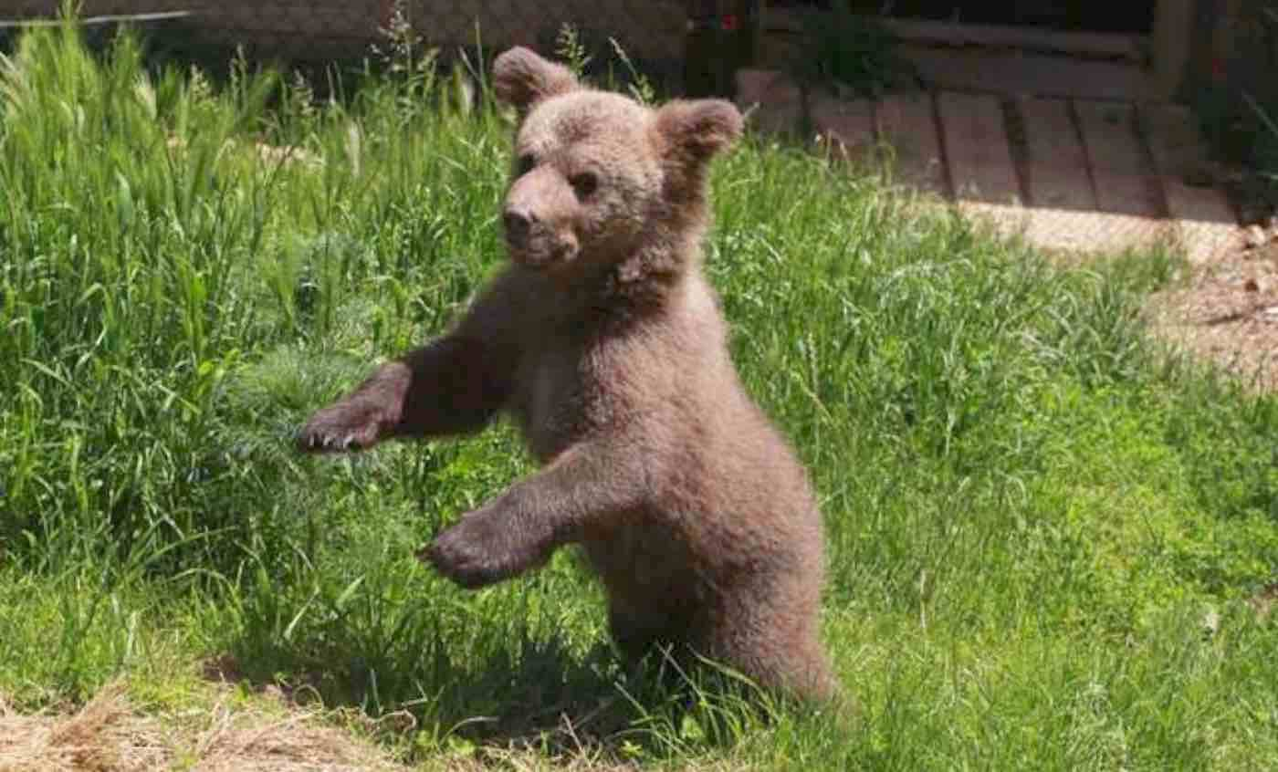 After Bear Cub Was Rescued From Life in a Basement, Watch Him Experience Grass for the First Time