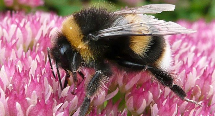 Bumblebee Conservation Ielts Reading Answers