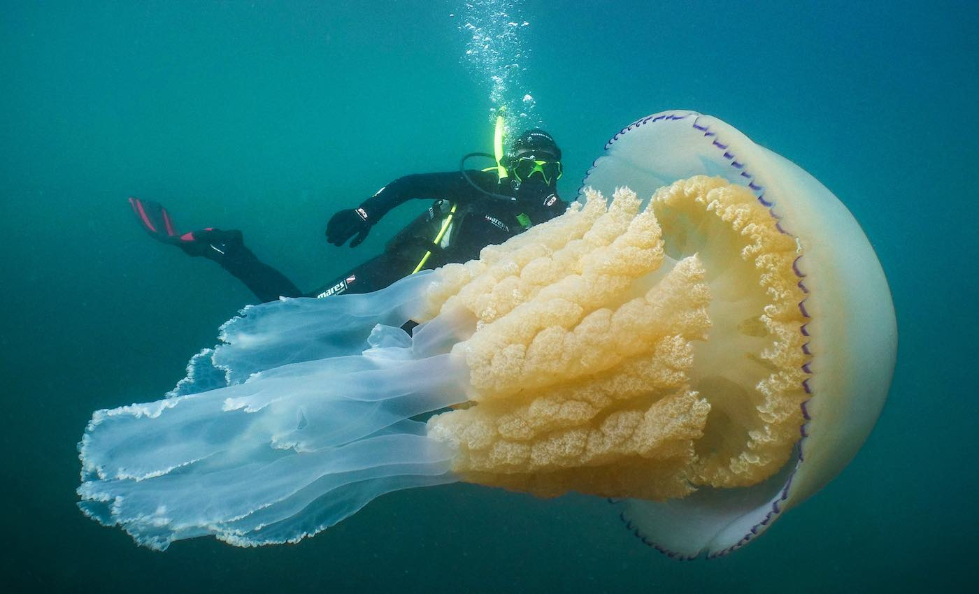 Diver is Awestruck By Huge Jellyfish Encounter Off the
