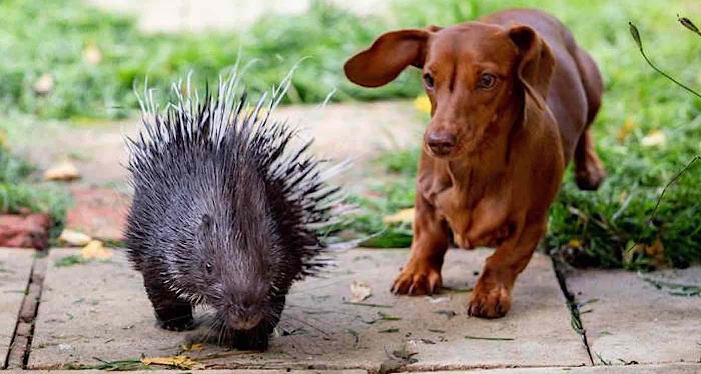 After Porcupine is Rejected By His Mother, Wiener Dog Steps in to Be His Best Friend
