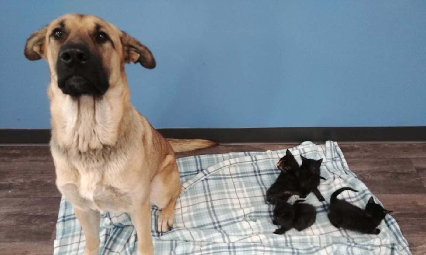 Stray Dog Found Keeping Litter of Newborn Kittens Warm Amidst Frigid Temperatures On Canadian Road