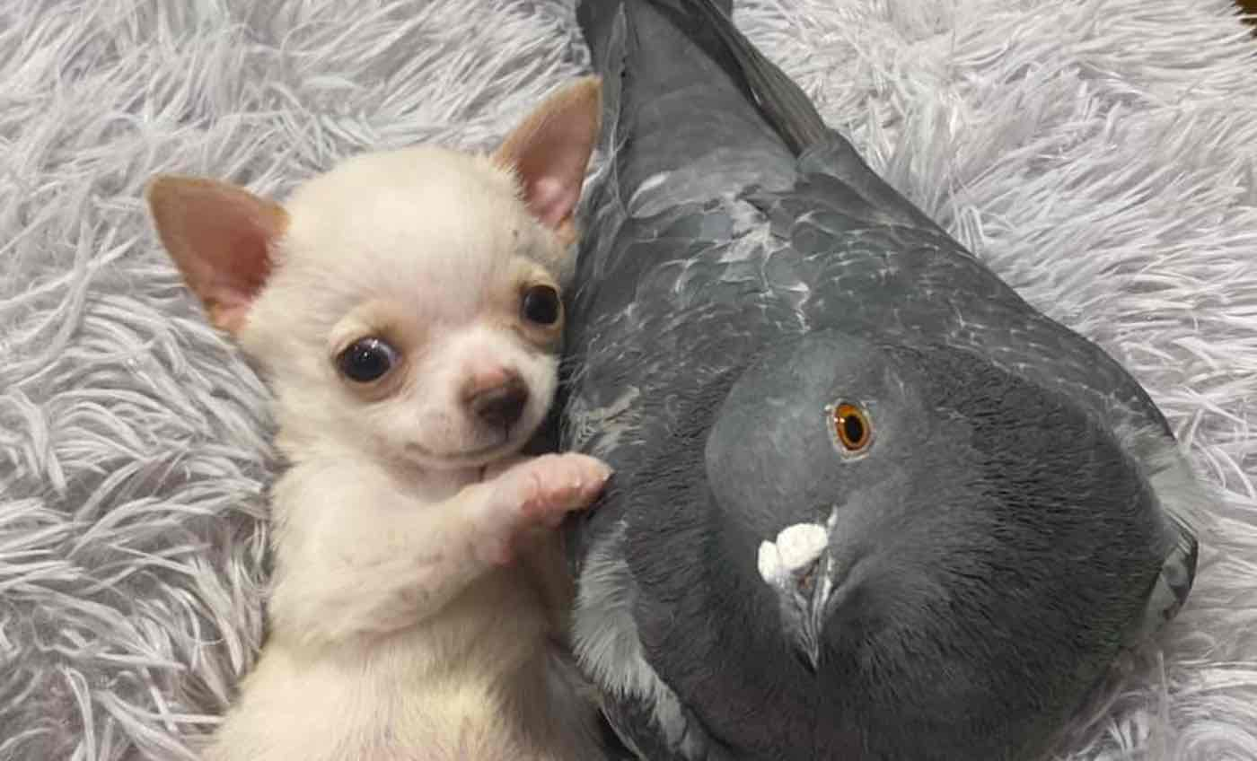 A Pigeon That Can't Fly Befriended a Puppy That Can't Walk