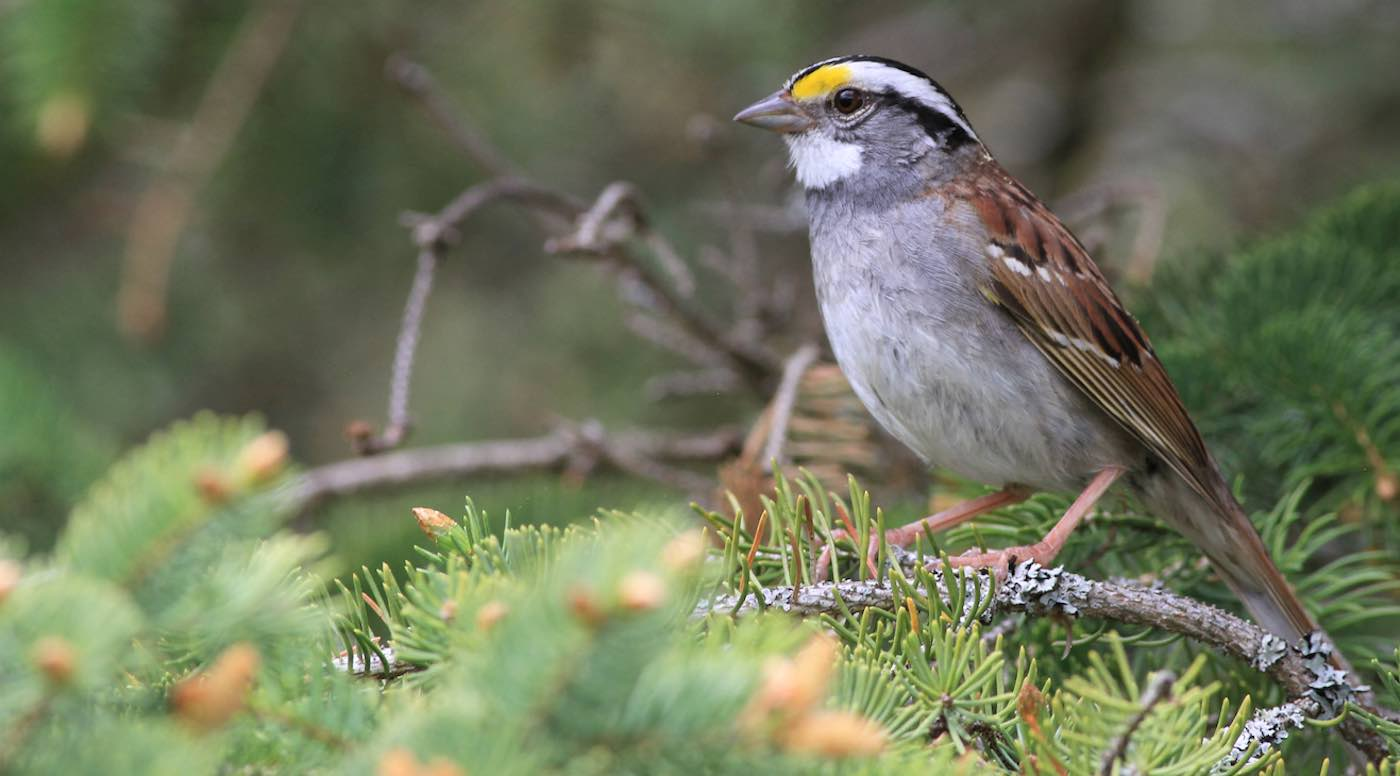 New Bird Song That 'Went Viral' Across This Species of Sparrow Was Tracked by Scientists For First Time - Good News Network