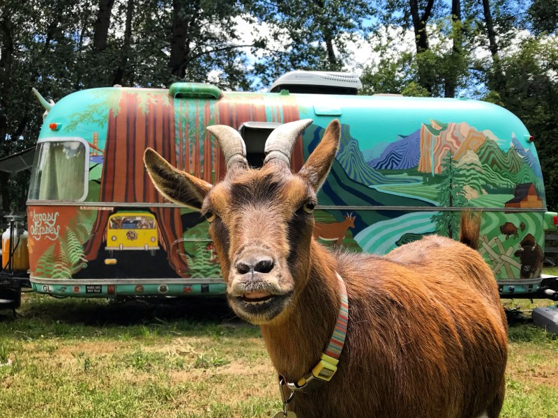 Picture of Frankie the adventurous goat who has traveled over 60,000 miles across the US with her owners in their colorful Airstream trailer.