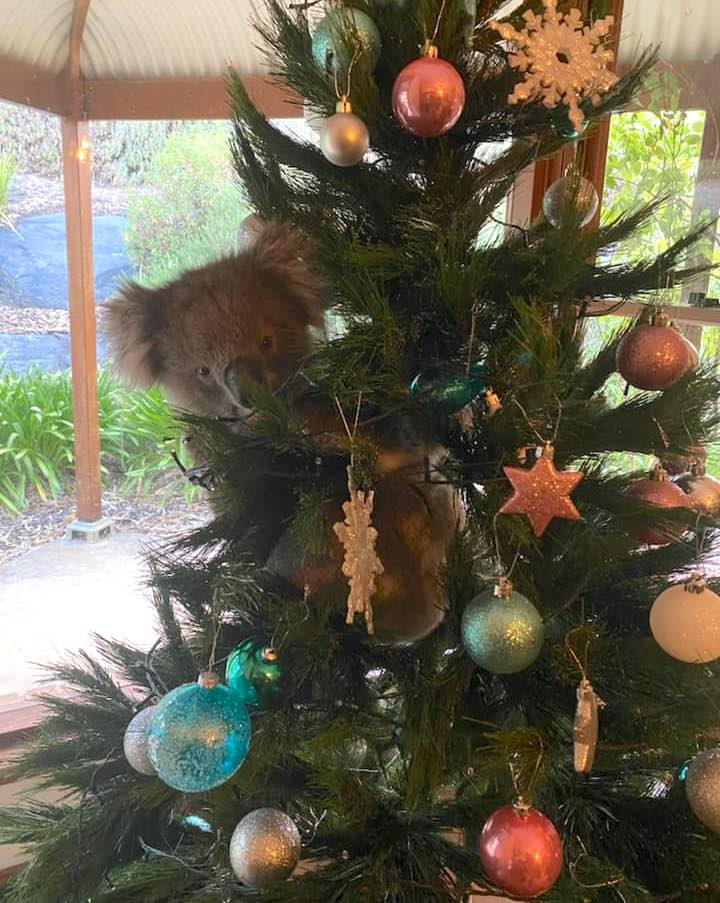 Koala in Christmas tree