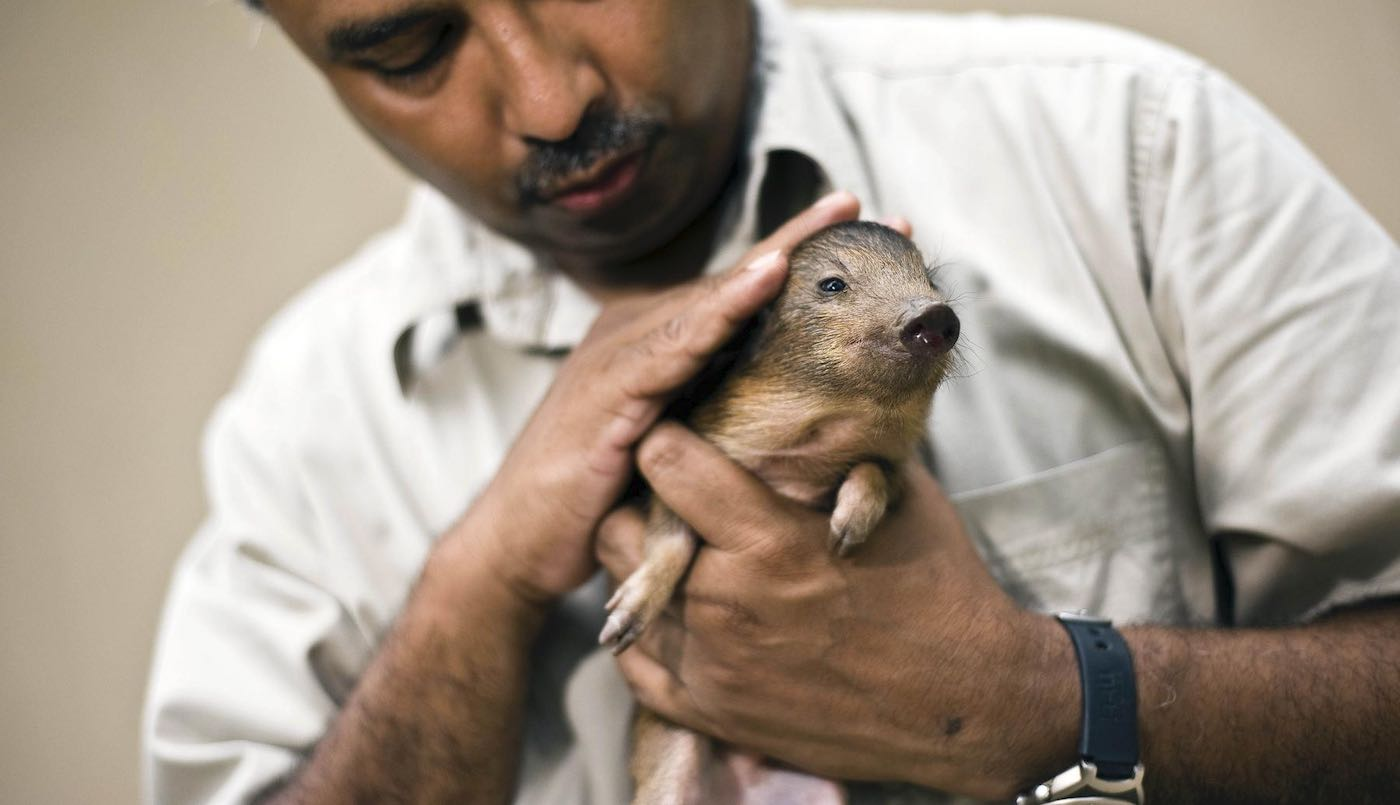World's Tiniest Pig at 10-Inches Tall, Once Thought Extinct, Is Returning to the Wild